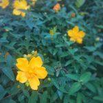 幸福の黄色い綺麗なお花️ 帰り道に、黄色いお花が満開(*´∀`)♪ 勝手に『幸福の黄色い花』と名付け ここを通るたくさんの人が、幸せになるんだ️(*´∀`)♪ っと1人テンション上がりました(o^^o)ワクワク #名古屋 #黄色い #花 #春 #黄色い花 #帰り道 #お花 #幸福 #幸運 #幸せ #笑顔 #ワクワク